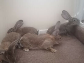 Giant continental rabbit. Pure breed.Vaccinated.