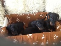 Beautiful miniature dachshunds