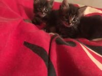 Kittens fluffy boys