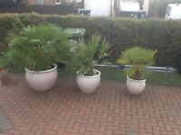 Large potted garden plants-3