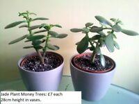 Jade Plant Money Trees in Vases
