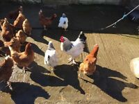 Young Sussex roosters for sale
