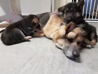 german shepherd pups