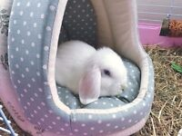 Beautiful Blue Eyed White Mini Lop Female!