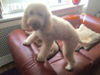 Loving labradoodle needs new home