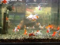 Loads of fish for sale tropical and Coldwater