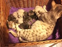 Lovely litter of Bengal X kittens , mum is a snow Bengal and dad is bengals X Ragdoll