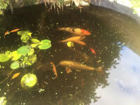 8 Koi Carp for sale (approx 8-20 inches)