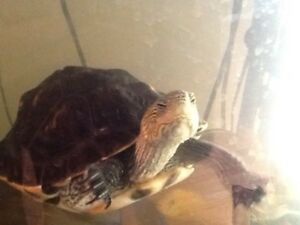 $99 for 2 Red Ear Slider Turtle price negotiable
