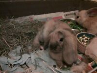 Baby x-breed Lionhead Rabits For Sale