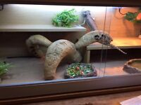9-12 month Bearded Dragon complete with Viv & Full Set up