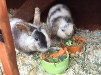2 beautiful male rabbits looking for forever home