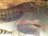 LARGE  CICLIDS FOR SALE