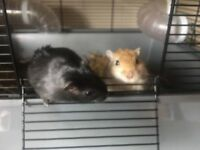 Two gerbil brothers 1y old with cage, food, and hay