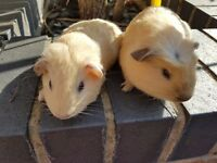 Baby guinea pigs 1 californian 1 self