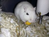 Freddie, male Gerbil Available for Adoption