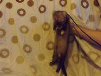 Micheal The Ferret
