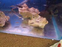 redline torpedo barbs tropical fish approx 2 inch £5