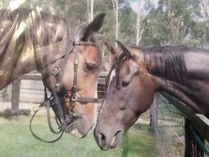 Forever home WANTED BIG MARE 16hh Tamborine Ipswich South Preview