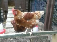 Free to good home 2 female chickens