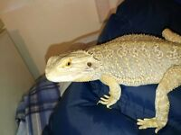 2 year old bearded dragon male plus 3ft vivarium