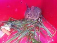 bebe lapin 10 jours baby bunny 10 days old