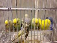 Baby budgies for sell