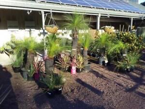 Wide range of grass trees. Prices start at $139 Heatherton Kingston Area Preview
