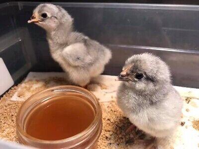 Fertile Lavender Orpington Hatching Eggs 1 Dozen