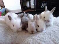 baby lion lop bunnies for sale READY NOW