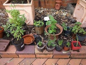 Well established and varied herbs various prices St Lucia Brisbane South West Preview