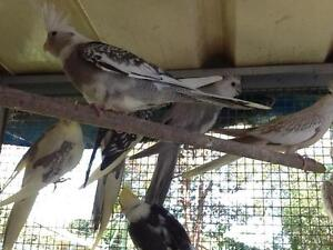 Baby Cockatiel for sale Chipping Norton Liverpool Area Preview