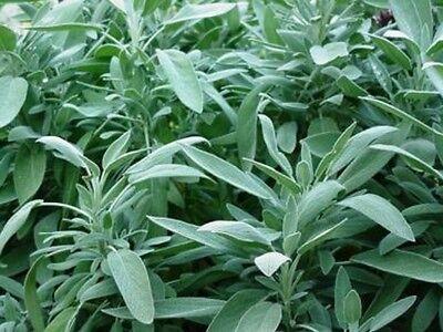 Sage- Broadleaf-(Salvia Officinalis)- 100 Seeds- BOGO 50% off -