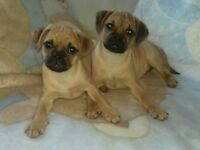 Jug puppies (3/4 pug) *1 girl left*