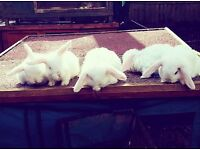 3 mini lops and 2 mini lop x Netherland dwarf