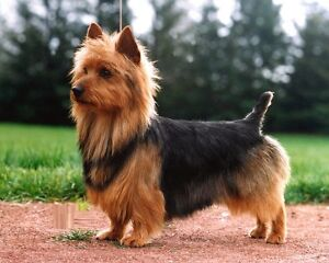 WANTED: Australian terrier