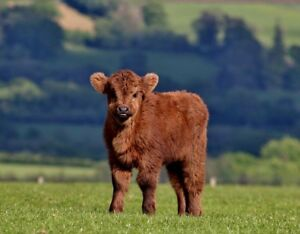Looking for a heifer calf