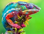 The Snazzy Chameleon