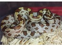 Gold Dust and Gold Plated Corn Snake