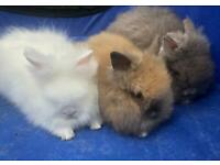 Purebred Lionhead Baby Rabbits - Cute and Really Fluffy Bunny Rabbits - lovely colouring