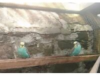 Young Blue budgie cock bird for sale just £12.50