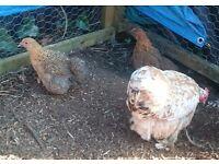 Pekin chicks (girls)and scots grey cockeral