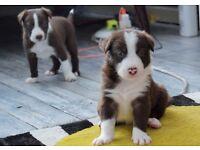 Stunning Border Collie Puppies Brown & White 2 Left
