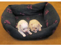 Chihuahua Long Haired Puppies one Girl White one Boy Cream KC Registered