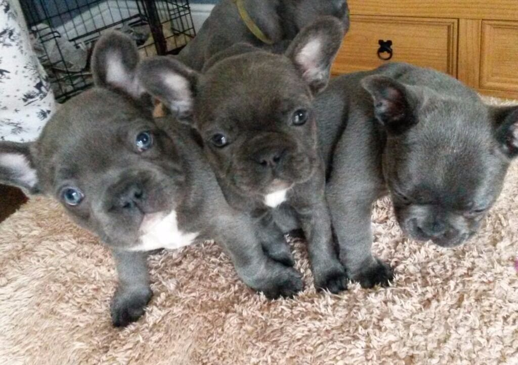 1 Remaining Beautiful Litter Of All Blue French Bulldog Puppies In Tipton West Midlands