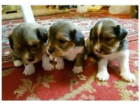 Cava-Shell (F1) Puppies for Sale