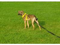 6 month whippet cross