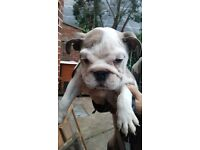 Puppie, British BullDog Pup with lovely temperament Very Friendly