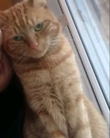 8yrs old Male Tabby Cat