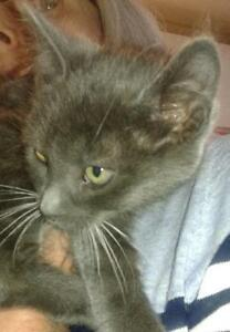 """Baby Male Cat - Domestic Medium Hair - gray and white: """"Close"""""""